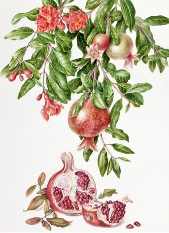 Pomegranate, Punica granatum by Akiko Enokido