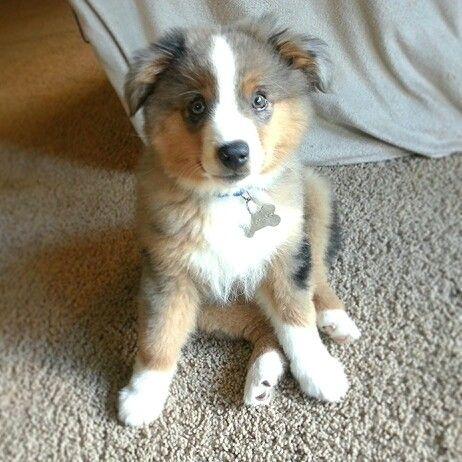 Miniature Australian Shepherd Puppy ♥