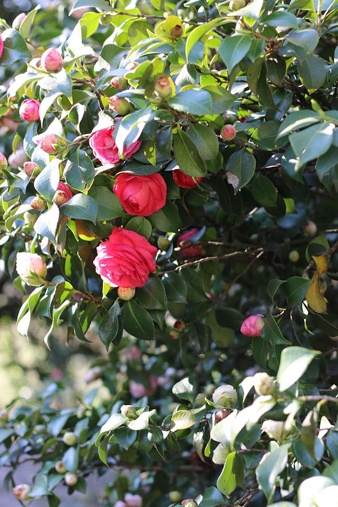 spring! camellia flowers in Portugal!