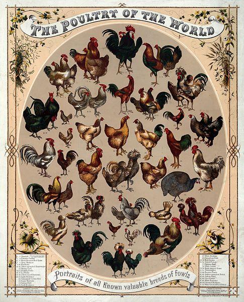 Fancy Chicken Breeds.