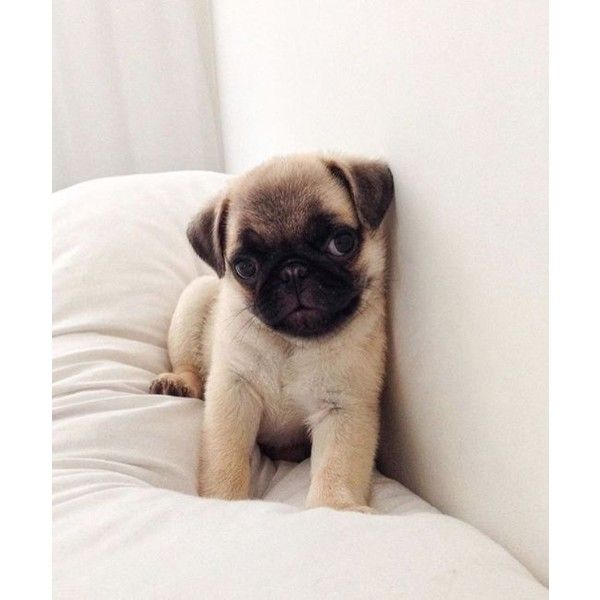 Pin By Liamc On My Polyvore Finds Baby Pugs Pugs Cute Pugs