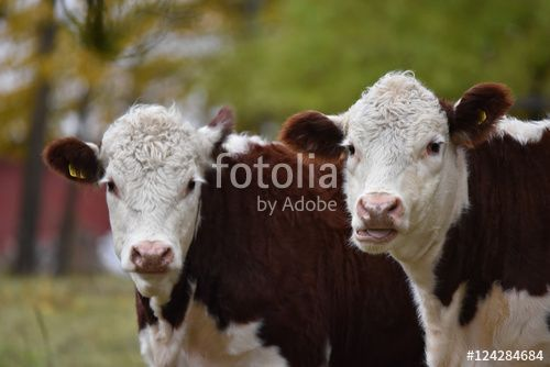 """Download the royalty-free photo """"Cows portrait, Ostergotland, Sweden"""" created by Ciaobucarest at the lowest price on Fotolia.com. Browse our cheap image bank online to find the perfect stock photo for your marketing projects!"""