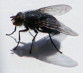 Fliegen sind vor allem im Sommer eine wahre Plage. Mit einer Fliegenklatsche lässt sich meist nur wenig ausrichten -> effektivere Methoden zeigen wir Ihnen