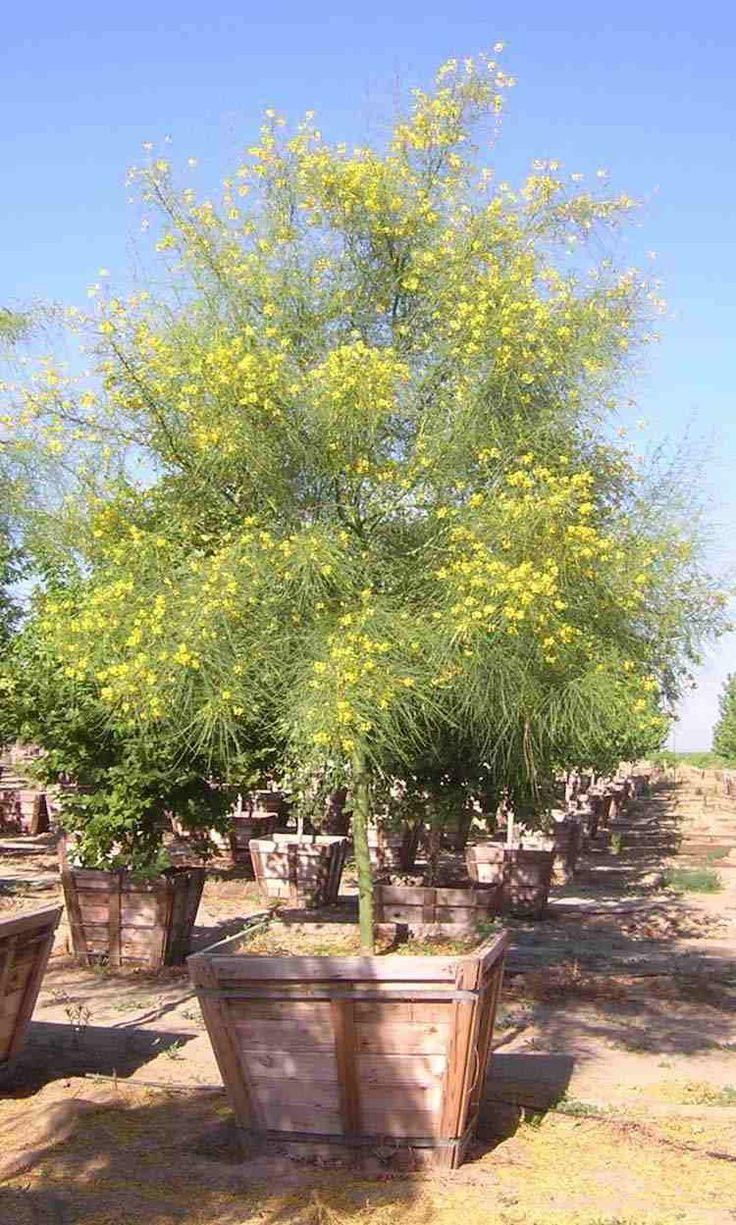 Most sensible 10 des arbres en pots à cultiver sans difficulté et modération
