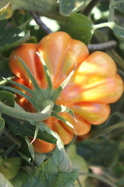 Liguria tomato