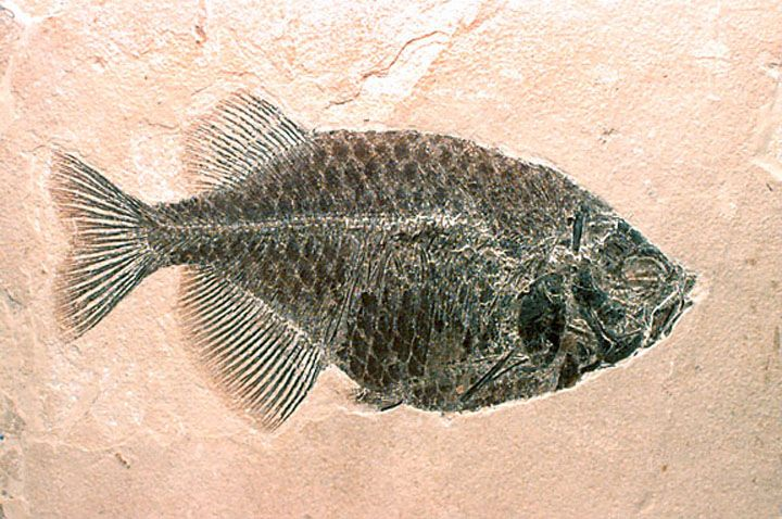This is a 50-million-year-old fish (Phareodus) from the Green River Formation of Wyoming. This fossil is testament to a time when giant lakes covered large parts of Wyoming, Utah, and Colorado. The Science Museum of Minnesota's Paleontology Department has over 100 fossils of Green River fish, including some type specimens (specimens on which new species are based).