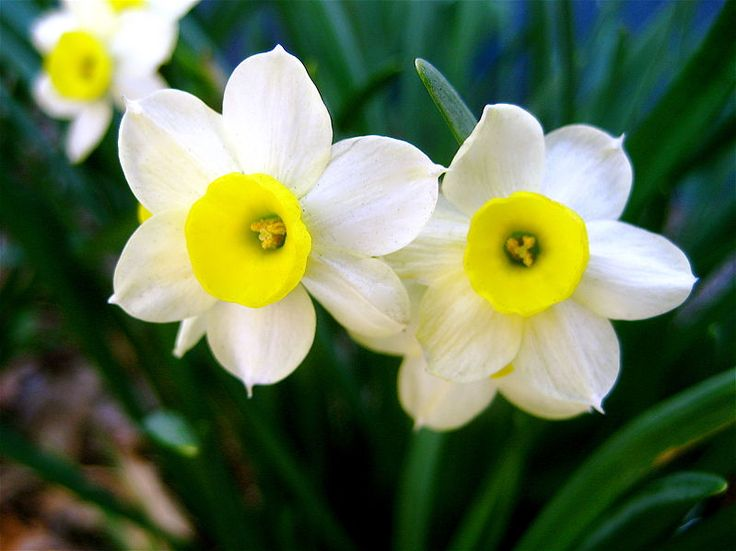 Narcissus Flower | Narcissus Flowers Pictures | Daffodil Flowers Picture