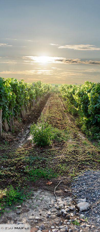 Vineyard in Hungary
