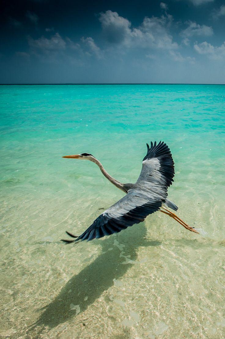 Velassaru Heron   ©Mats Carduner(Maldives)
