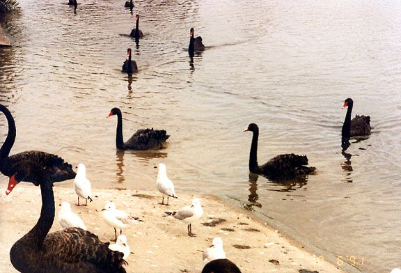 The Black Swans of Perth, Australia