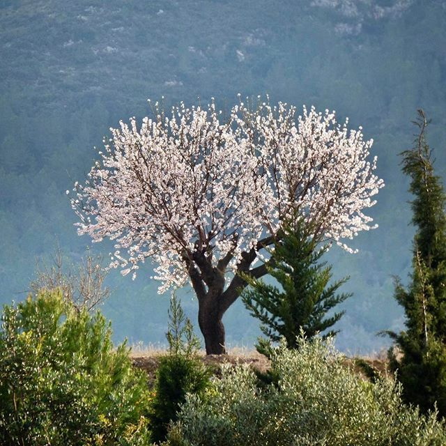 A lone #almondtreeinblossom in the distance during our walk today from@#Xalo to #Alcalali