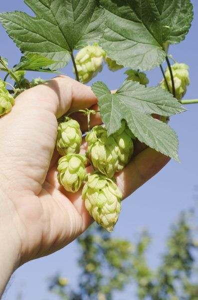 Harvesting Hops Plants: When Is Hops Harvest Season -  With enough space, you can grow your own hops and put an extra personalized spin on your homebrewed beer. The following article provides information about how and when to harvest hops. Click here to learn more.