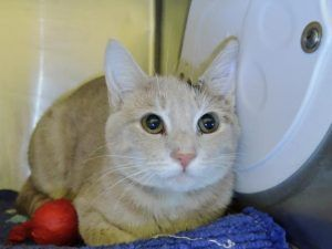 WASHINGTON – A1107658 - 1yr  FEMALE, ORG TABBY, DSH -  WOUND ON EAR - FROM LARGE GROUP OF CATS FROM SAME HOME - NEEDS A HOME!