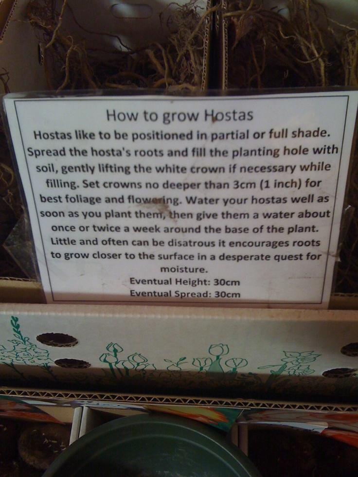 hostasGrowing Dammit, Landscapes Ideas, Landscapes Projects, Gardens Patios, Plants, Growing Hosta, Flower, Hosta Care, Gardens Growing