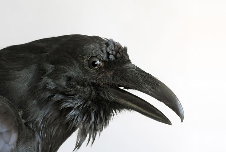 """Edgar Allan Poe knew what he was doing when he used the raven instead of some other bird to croak out """"nevermore"""" in his famous poem. The raven has long been associated with death and dark omens, but the real bird is somewhat of a mystery. Unlike its smaller cousin the crow, not a lot has been written about this remarkable bird. Here are 10 fascinating facts about ravens."""