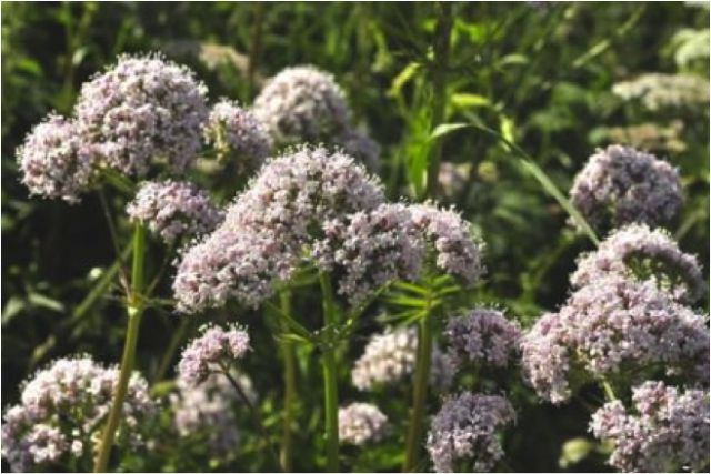 Valerian - The root is used for medicinal purposes. It is also found in drugs that are used to treat nervous disorders like Epilepsy or Anxiety, such as Valproic Acid aka Depakote / Depakene.
