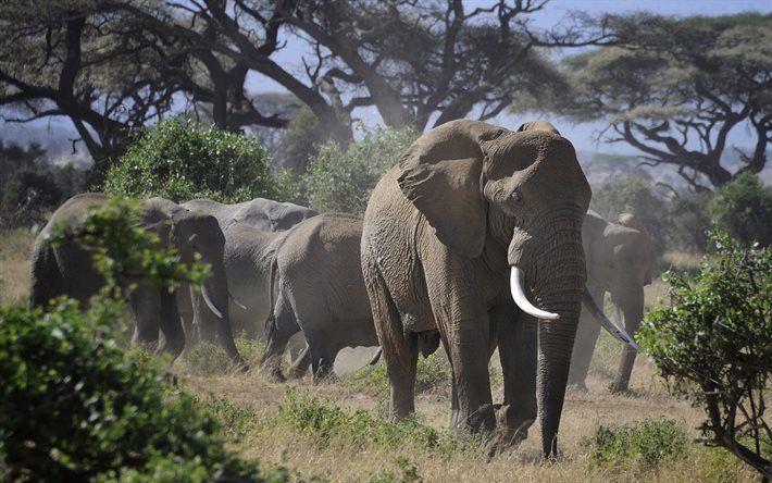 Lataa kuva Elefantti, Afrikka, syöksyhampaat, wildlife, norsuja
