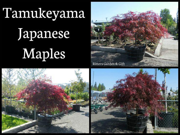 Tamukeyama Japanese Maples.