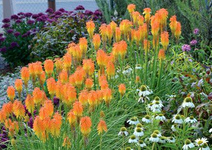 Kniphofia 'Fire Glow', from terra nova nurseries in orgeon.