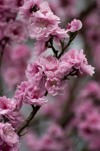 "PEACH BLOSSOM - ""I am your Captive"" in the language of flowers"