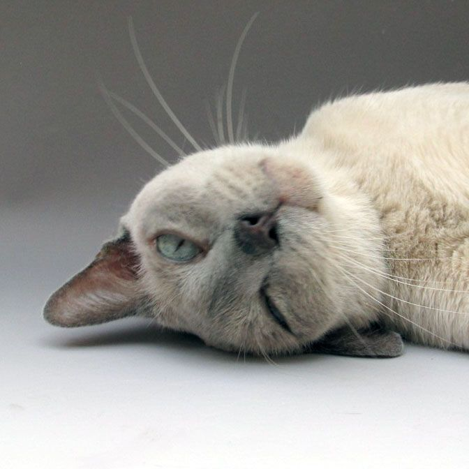 Willoughby - a platinum Tonkinese  Such a sweetie!