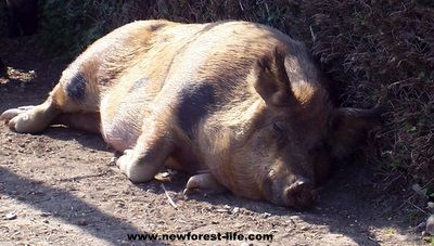 New Forest Pigs