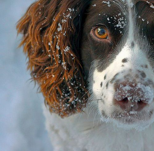 Springer Spaniel Dog Photography Puppy Hounds Chiens Puppies