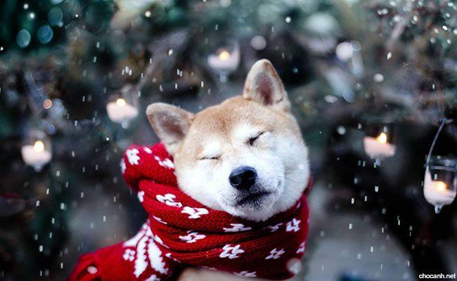 Giống chó Akita Inu là sự kết hợp độc đáo giữa phẩm chất, cảnh giác, lòng dung cảm và sự cống hiến cho gia đình của mình