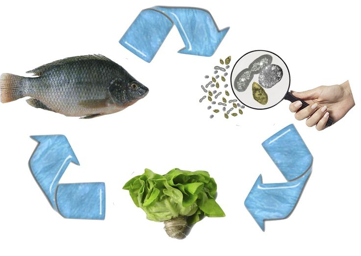 109 best aquaponics images on pinterest for Fish used in aquaponics