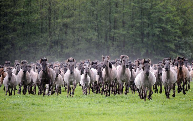 """Cai sălbatici din rasa """"Duelmener Wildpferde"""" aleargă în timpul """"zilei de prins cai sălbatici"""", organizată la Merfelder Bruch, în apropiere de Duelmen, Germania, sâmbătă, 25 mai 2013. (  Henning Kaiser / AFP  ) - See more at: http://zoom.mediafax.ro/nature/animale-in-jurul-lumii-11113807#sthash.TEwc4m8k.dpuf"""