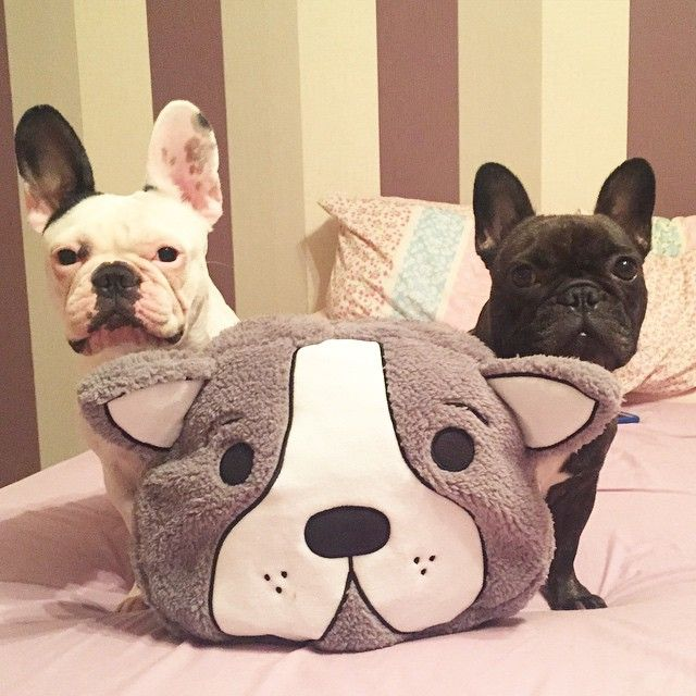 'Manny & Frank', the French Bulldog BFF's, via Batpig & Me Tumble It.