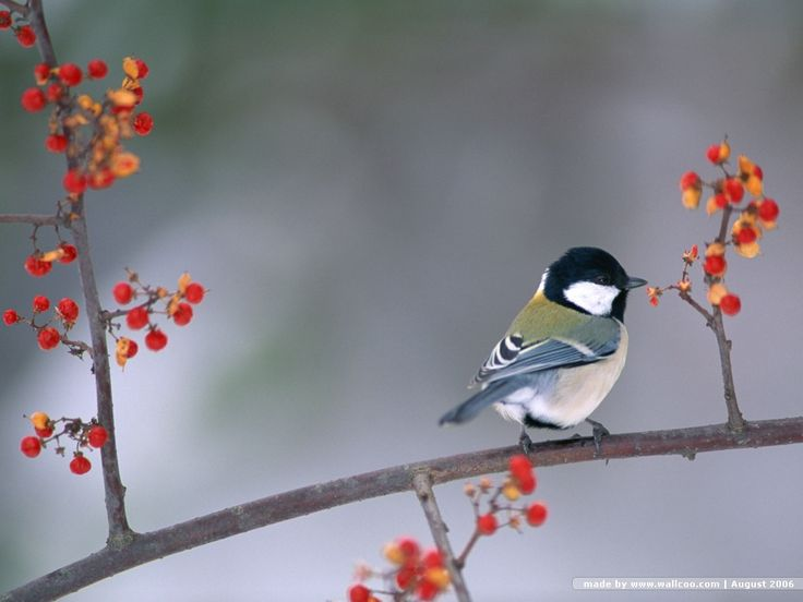 Black Capped Chickadee on berry branch