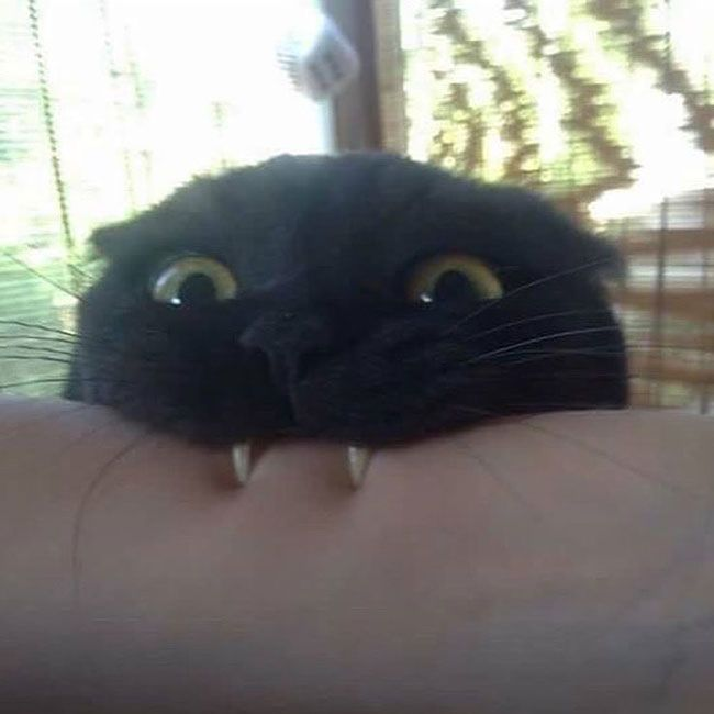 Vampire cat vants to suck your blood...