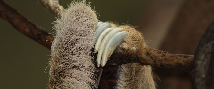 Sloth Claws