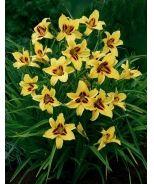 Bonanza Dwarf Daylily (Hemerocallis x 'Bonanza') - Monrovia - Bonanza Dwarf Daylily (Hemerocallis x 'Bonanza')