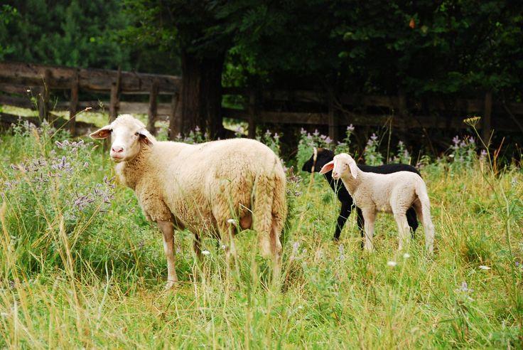 ovejas, corderos, crías, prado, pastar, granja, 1708270831