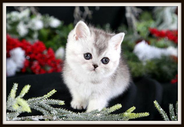 Exotic Short Hair Teacup Persian Kitten for sale