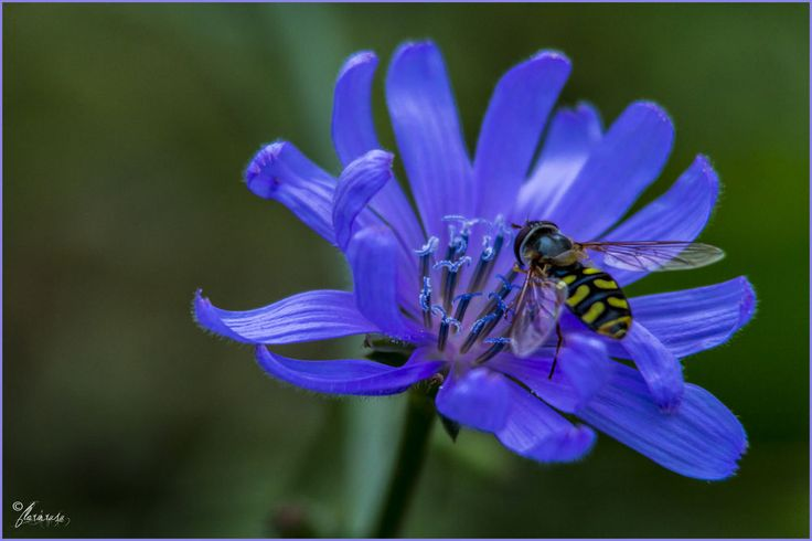 blue flower and bee ... by Florin Rusu