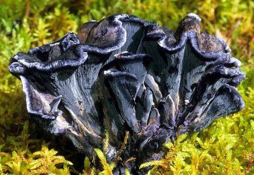 http://www.itsnature.org/plant_life/vegetation-plants/polyozellus-multiplex/: Nature, Lichen Funguys, Mushrooms Other Fungi, Mundo Fungi, Wild Mushrooms, Fascinating Fungi, Exotic Fauna Flora Fungi