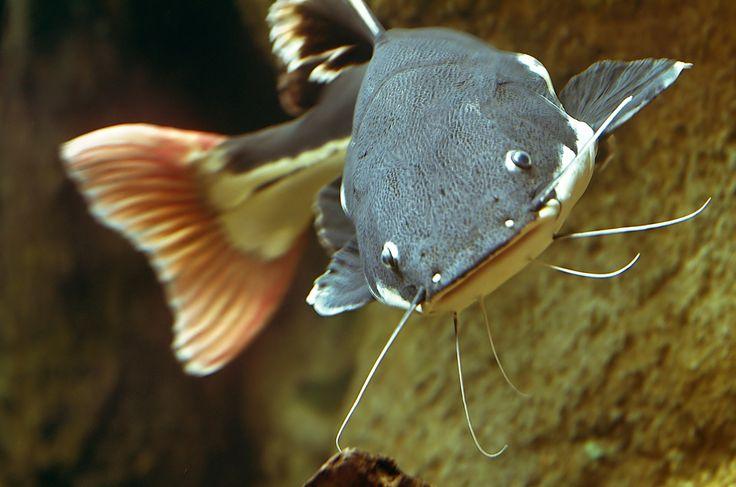 Redtail Catfish Information   Phractocephalus hemiliopterus