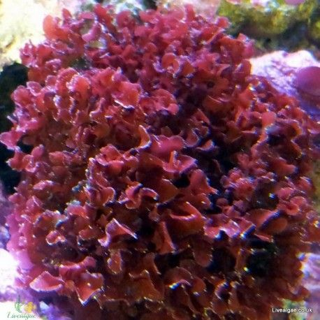 The red marine macro algae Gracilaria Curtissae is a top addition for the marine tank It belongs to the red macro algae species and we sell it within the UK
