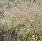 Briza media - common quaking grass. Effective and long lasting perennial grass.