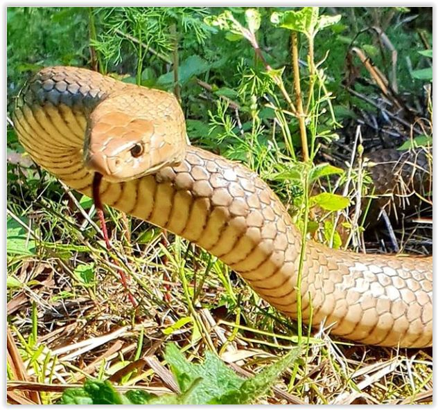 Pin by Cara Goodnight on Sneks, Gecks, and Hecks Snake