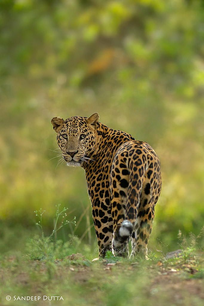Show Stopper by Sandeep Dutta on 500px Big Male Leopard of Kabini