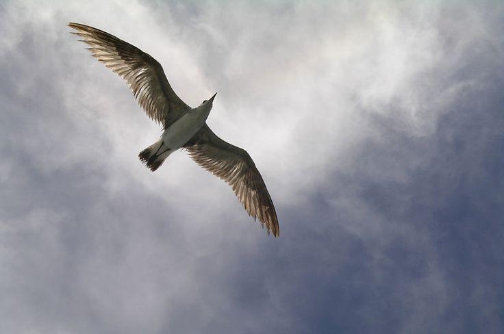 Free Gull