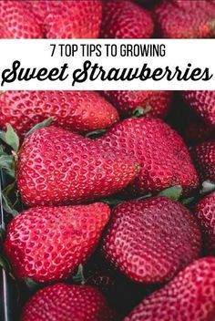 7 Tips for Growing Strawberries- These gardening tips will show you how to maintain healthy strawberry plants that produce high yields of berries.