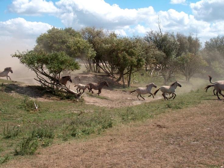 Konik Horses (Equus ferus caballus) - semi-feral horses at Oostvaardersplassen as part of the Rewilding of Europe project. Konik Horses are a breed of Domestic Horse that has been bred to resemble the extinct Tarpan (Equus ferus ferus). - || lysvik-photos konik-LSVK0808 on Flickr.