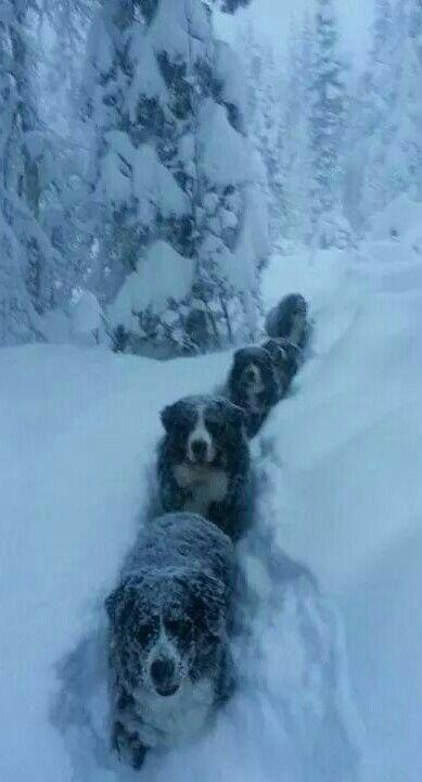 Swiss Bernese Mountain dogs