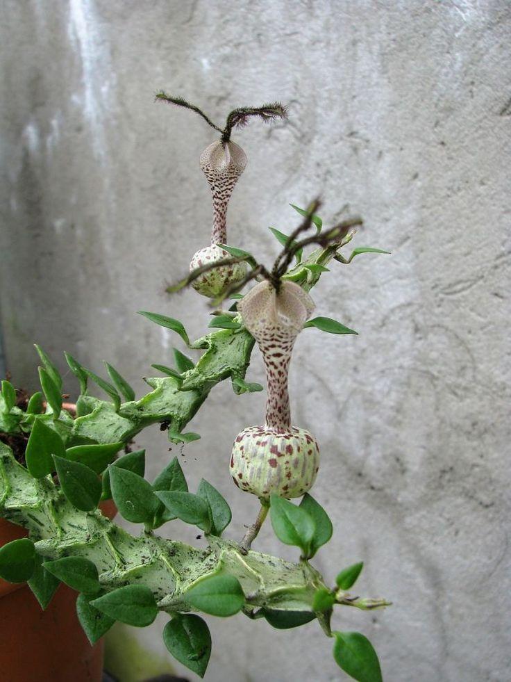 ceropegia simonae green form
