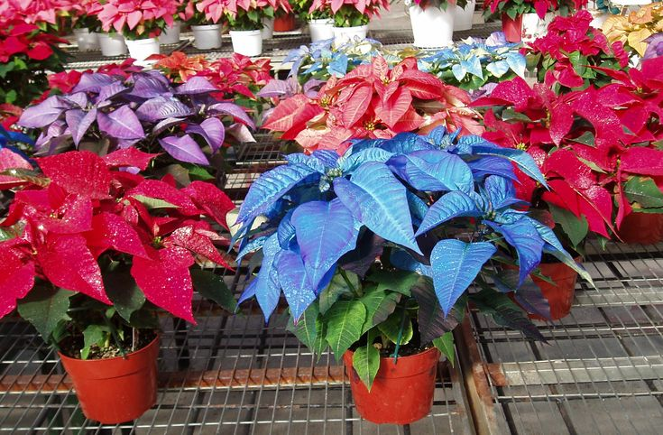 Poinsettias come in many colors including burgundy, red, pink, white, orange, purple and blue